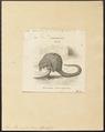 Manis tricuspis - 1700-1880 - Print - Iconographia Zoologica - Special Collections University of Amsterdam - UBA01 IZ21000015.tif