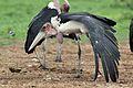 Marabou Stork, Leptoptilos crumeniferus, at the aptly named Marabou Pan, Savuti, Chobe National Park, Botswana (32633829282).jpg