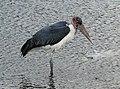 Marabou Stork in Lake Ziway.jpg