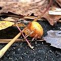 Marbled Orb-Weaver.jpg