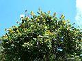 Markhamia obtusifolia, kruin, Manie van der Schijff BT.jpg