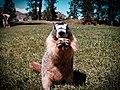 Marmota flaviventris -Vernon, British Columbia, Canada-8.jpg
