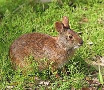 Un lapin brun-roux, avec des yeux noirs et des petites oreilles