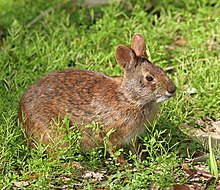 Marsh Rabbit.jpg