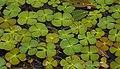 Marsilea quadrifolia, Romania (35284800302).jpg