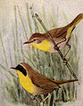 Maryland Yellow-throat NGM-v31-p305-A.jpg