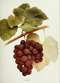 Massasoit (grape)