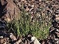 Mat muhly, Muhlenbergia richardsonis (32833628557).jpg
