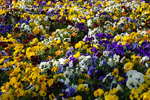 Matthias Zepper - Viola flowerbed at the rhine bank in Bonn (by).jpg