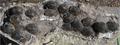Megaloolithid pinyes detail.png