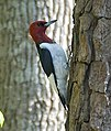 Melanerpes erythrocephalus -tree trunk-USA cropped.jpg
