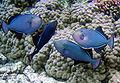 27 / Black triggerfish
