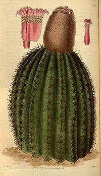 Melocactus intortus.jpg