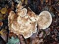 Meripilus giganteus 98259363.jpg