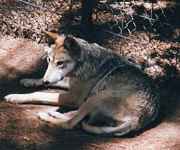 Mexican Wolf.jpg