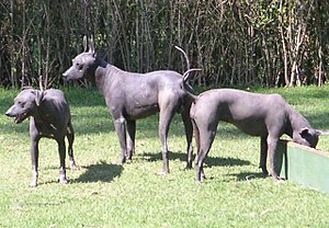 Museo Dolores Olmedo - Three Xoloitzcuintles at the Museo Dolores Olmedo.