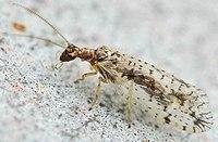 Micromus variegatus01.jpg