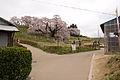 Miharu Takizakura 01.jpg