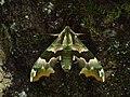 Mimas tiliae - Lime hawk-moth - Бражник липовый (27363831118).jpg