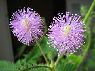 Mimosa - Mimosa pudica flower heads