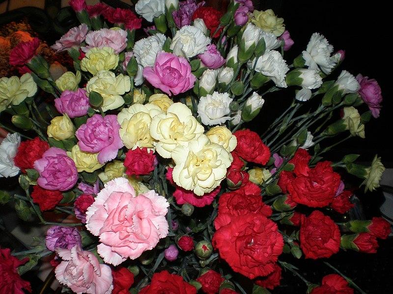 File:Mini Carnations (3) (2199134515).jpg