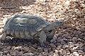 Mojave Desert Tortoise, Mojave Max (6079790122).jpg