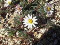 Mojave desertstar (Monoptilon bellioides); Bajada (12526169494).jpg