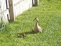 Momma Duck ^ Ducklings - panoramio.jpg