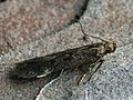 Monochroa sp. (40497970565).jpg