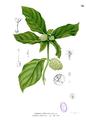 Morinda citrifolia Blanco1.52.png