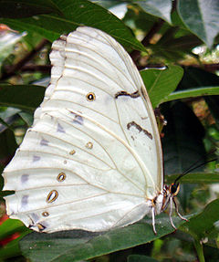 Morpho Polyphemus close.jpg