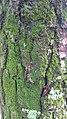 Moss on pine tree 1.jpg