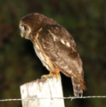 Mottled Owl.png