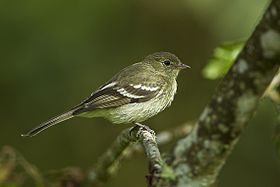 Mountain Elaenia - Colombia S4E2481.jpg