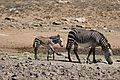 Mountain Zebras (Equus zebra zebra) mare and foal ... (32910539902).jpg