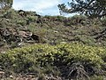 Mountain bitterbrush, Purshia tridentata, unnamed high-elevation variant (18252248752).jpg