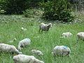 Moutons à Entrepierre-1.JPG
