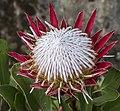 Mt Tomah Protea Cynariodes-1 (26163529914).jpg