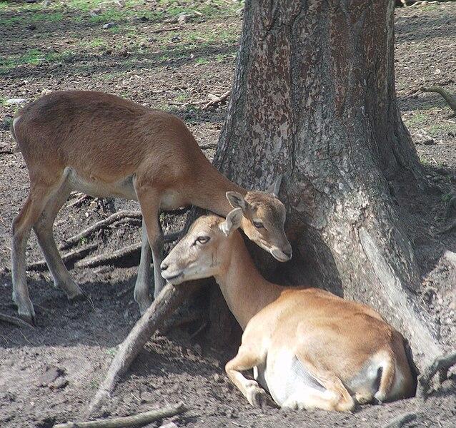 Weibliches Mufflon und Jungtier, Quelle Wikipedia