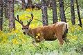 Mule deer buck (15244161070).jpg
