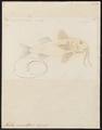 Mullus surmuletus - 1774-1804 - Print - Iconographia Zoologica - Special Collections University of Amsterdam - UBA01 IZ13000315.tif
