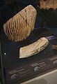 Musée-forum de l'Aurignacien - Collection - Faune - Mammouth - 2016-05-22.jpg