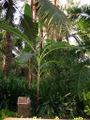 Musa-paradisiaca.jpg