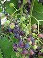 Muscat bleu Vicis vinifera.JPG