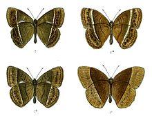 Mycalesis perseoides