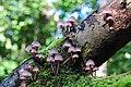 Mycena galericulata (GB= Common Bonnet, Syn. the toque mycena, Syn. the rosy-gill fairy helmet, D= Rosablättriger Helmling, F= La mycène en casque, NL= Helmmycena) - panoramio.jpg