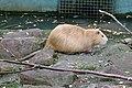 Myocastor coypus - Nutria - coypu - Biberratte 01.jpg