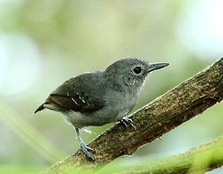 Leaden antwren Species of bird