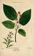 NAS-066 Amelanchier arborea.png
