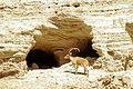 Nahal-david-nubian-ibex.JPG